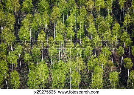 Stock Image of Sweden, Orebro Narke, forest with birch trees.