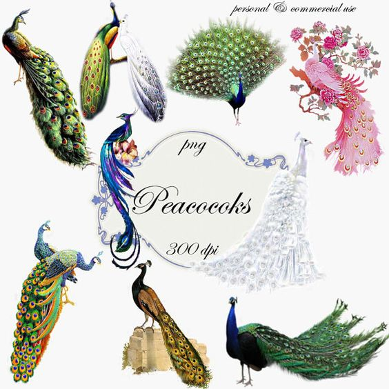 Clip Art: Peacocks Png Digital Images no 036.