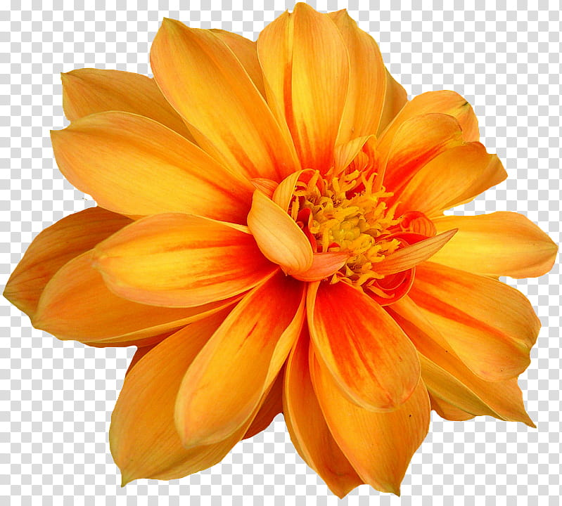 Spring YEAR ON DA, yellow flower transparent background PNG.