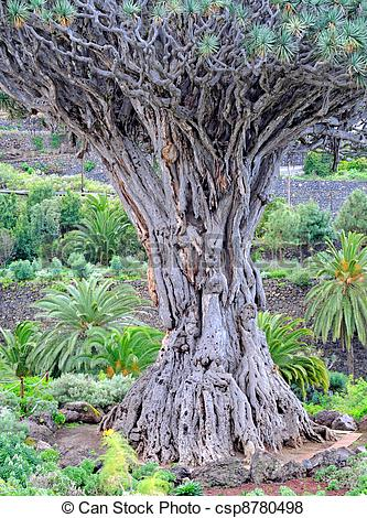 Pictures of Thousand years old dragon tree in Tenerife csp8780498.