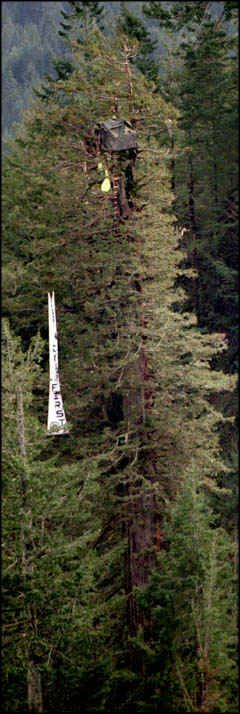 Redwood tree sitter clipart.