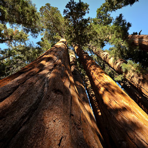 Iconic Sequoia 'Tunnel Tree' Brought Down By California Storm.