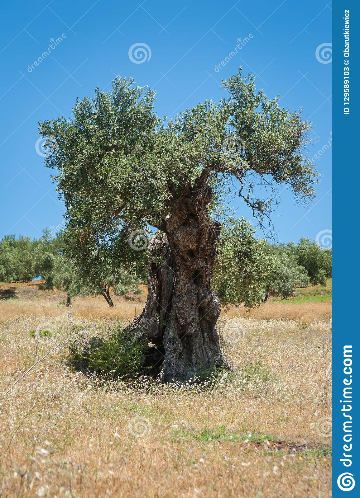 Olive Tree, Approx. 1000 Years Old Or Even More. Olive Tree.