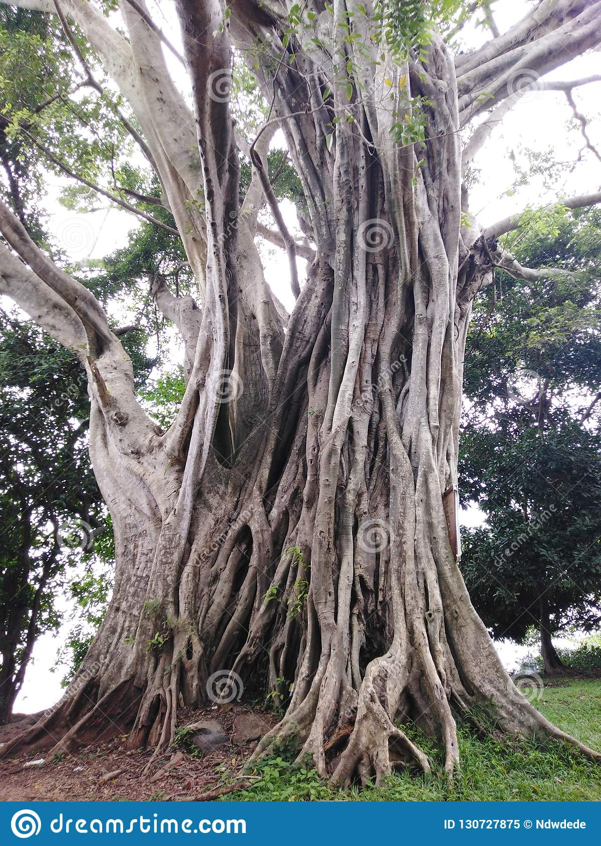 Thousand Years Old Huge Trees Stock Image.