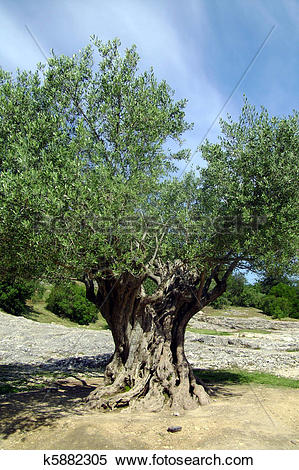 Stock Image of 1000 year old olive tree k5882305.