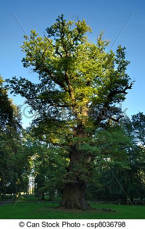 Pictures of 1000 year old oak tree at Ivenack, Mecklenburg.