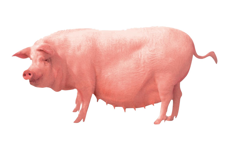Pig farming Clip art.