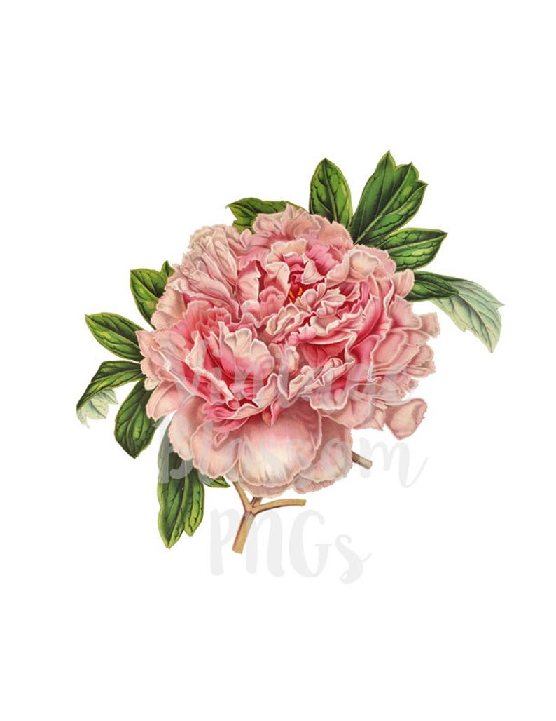 Peony Clip Art Vintage Flower Illustration Digital Download.