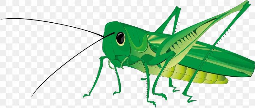 Grasshopper Royalty.