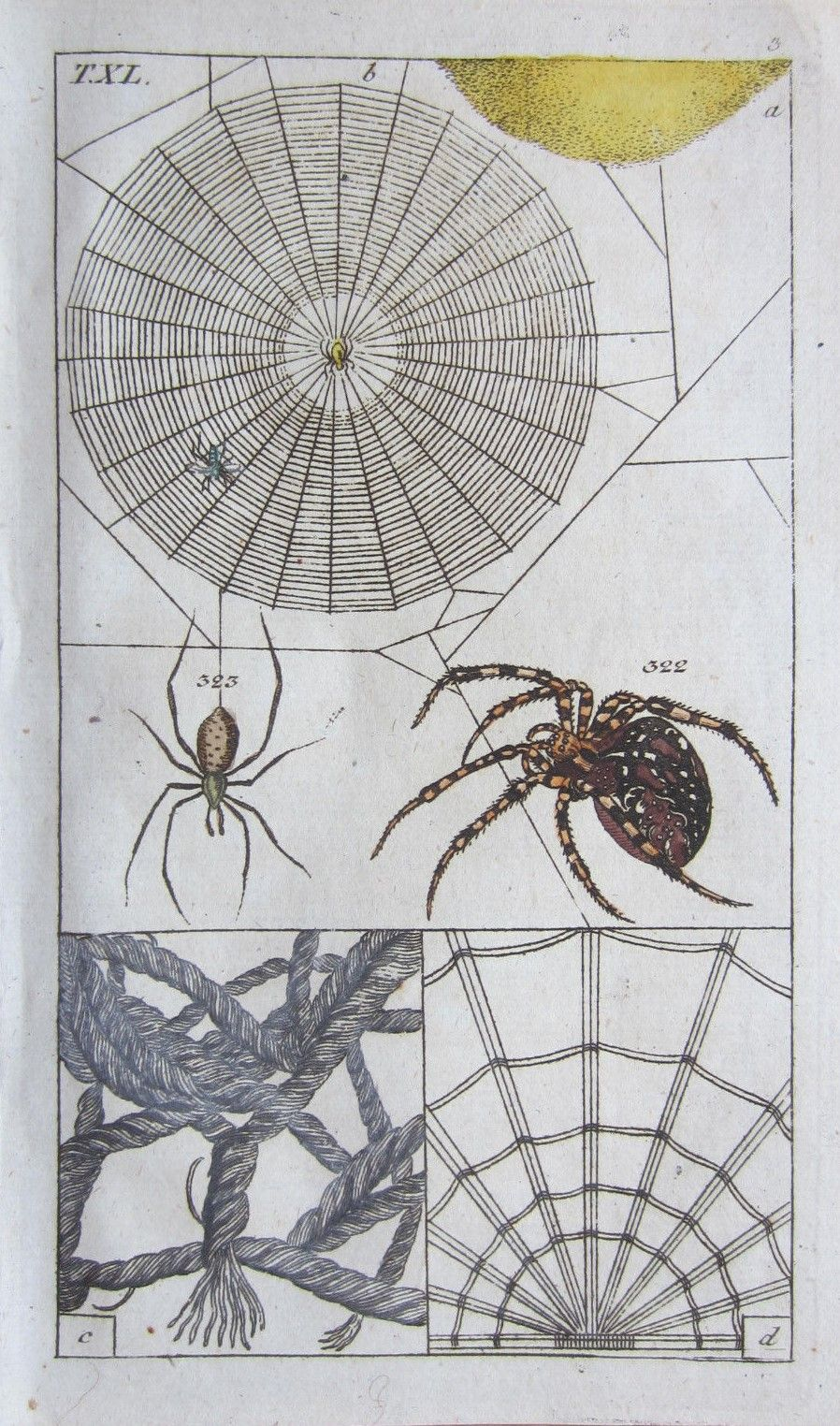 Engraving of a Cross Spider.