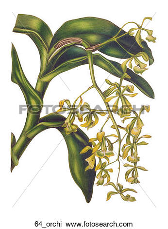 Clip Art of Antique Floral Illustration of a Dancing Lady Orchid.