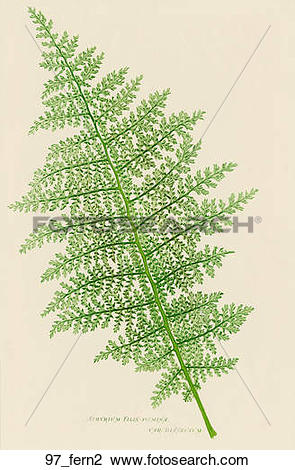 Clip Art of Antique Botanical Illustration of Lady Fern (nature.