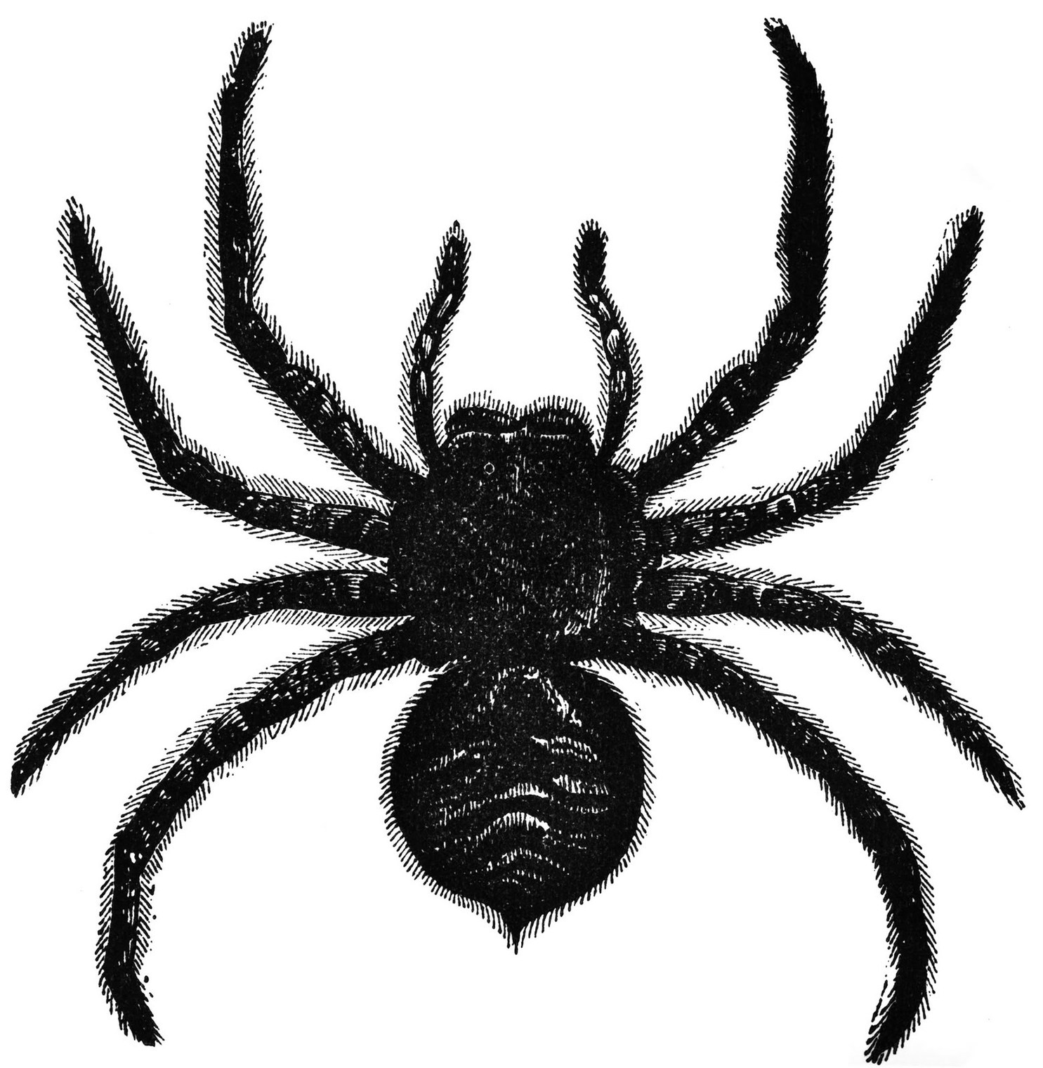 Vintage Ephemera Book Illustration Lycosa Tarantula 1859 Clipart.