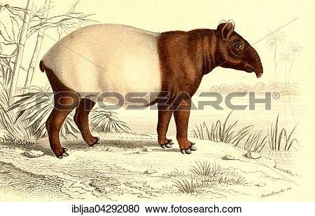 Stock Photography of Malayan Tapir (Tapirus indicus), scientific.