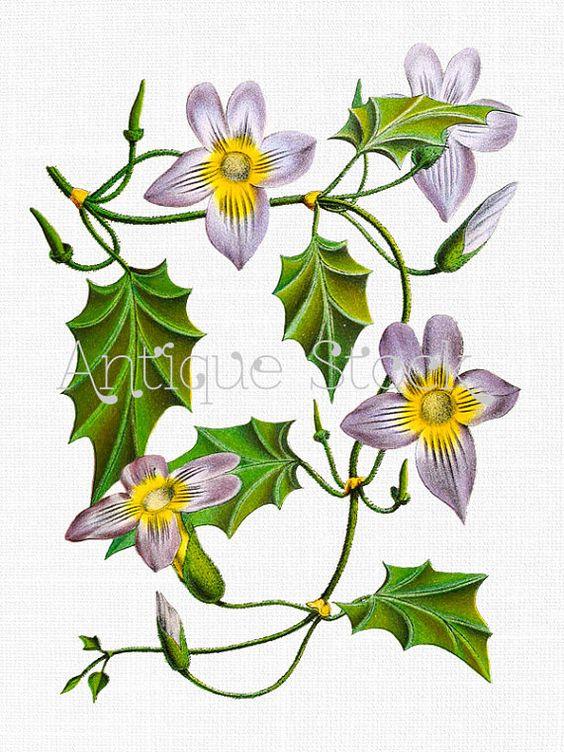 Lilac Flowers Clip Art 'Blue Trumpet Vine' Vintage Botanical.