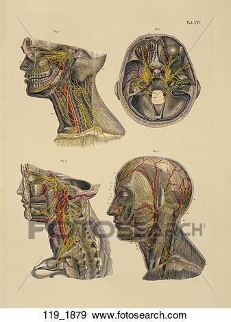 Stock Illustration of Antique Anatomical Illustration (hand.