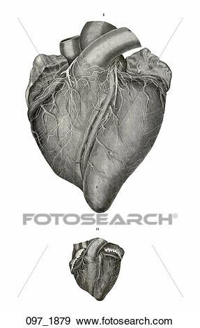 Stock Illustration of Antique Anatomical Illustration (steel.