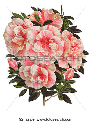 Clipart of Antique Floral Illustration of Azalea (chromolithograph.