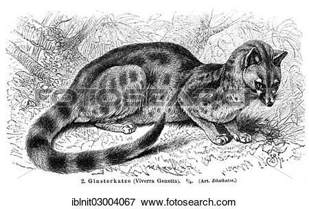 "Picture of ""Genet (Viverra genetta), illustration from Meyers."