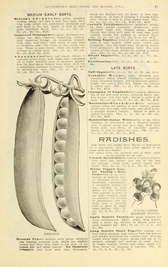 Seed catalogue illustration ~ peas, 1899..
