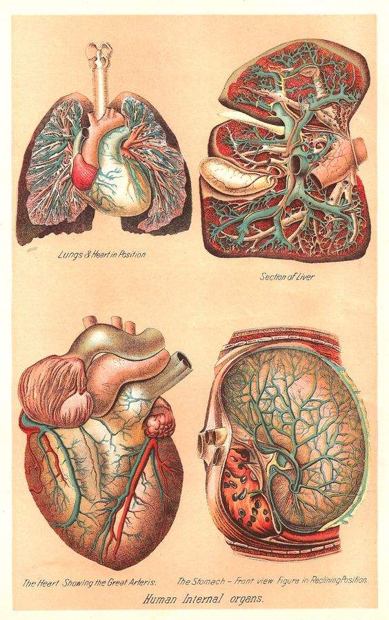 Antique Images: Vintage Medical Clip Art: Human Body Graphic of 4.