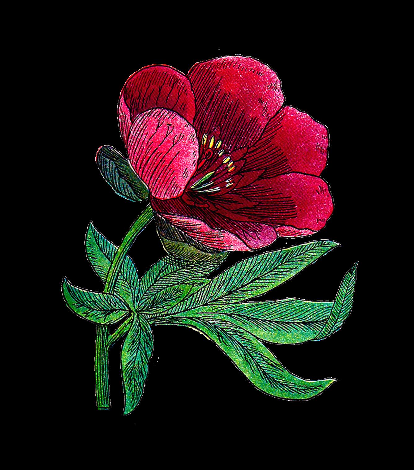Antique Images: Free Flower Clip Art: 1916 Antique Illustration of.