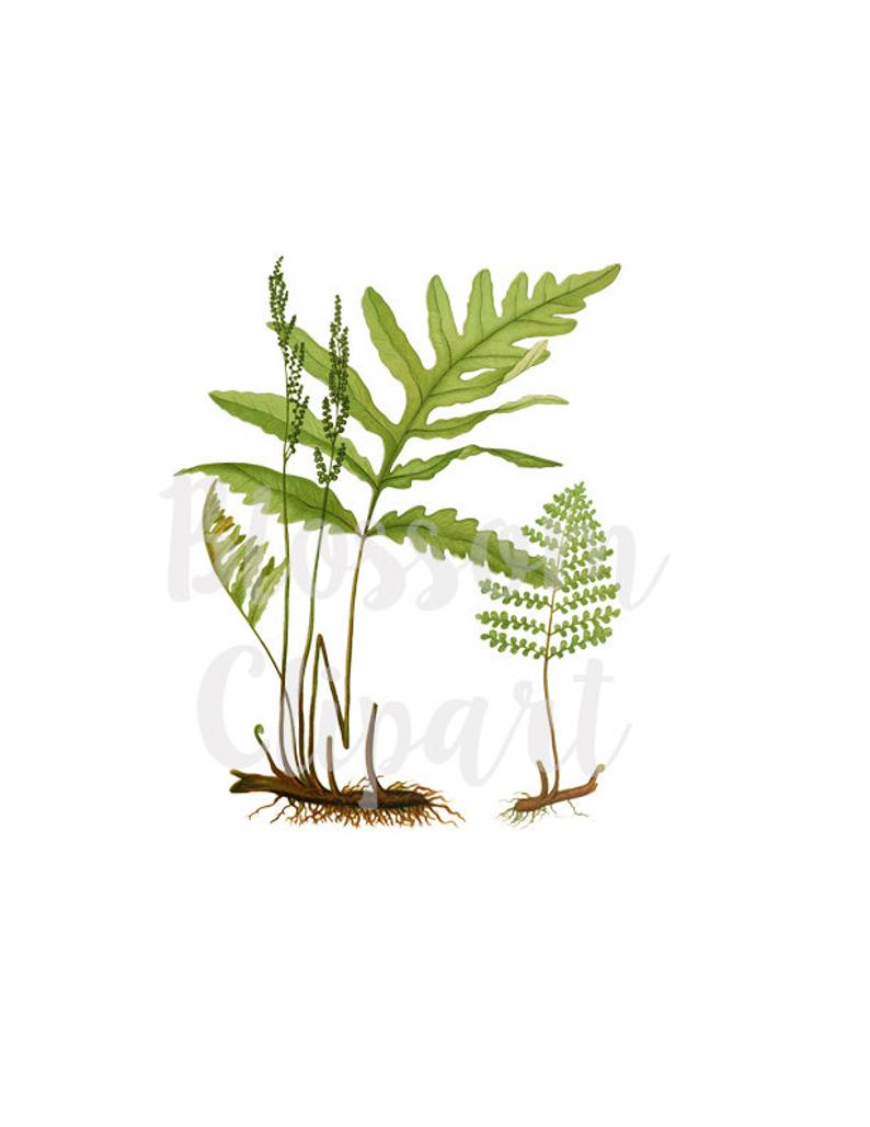 Plants Clipart Fern Botanical Vintage Leaves Digital.