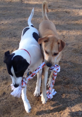 What\'s Happening When Dogs Play Tug.