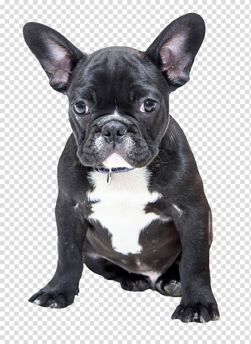 Adult black French bulldog, Dog Name Girl Puppy Audi R8 V10.