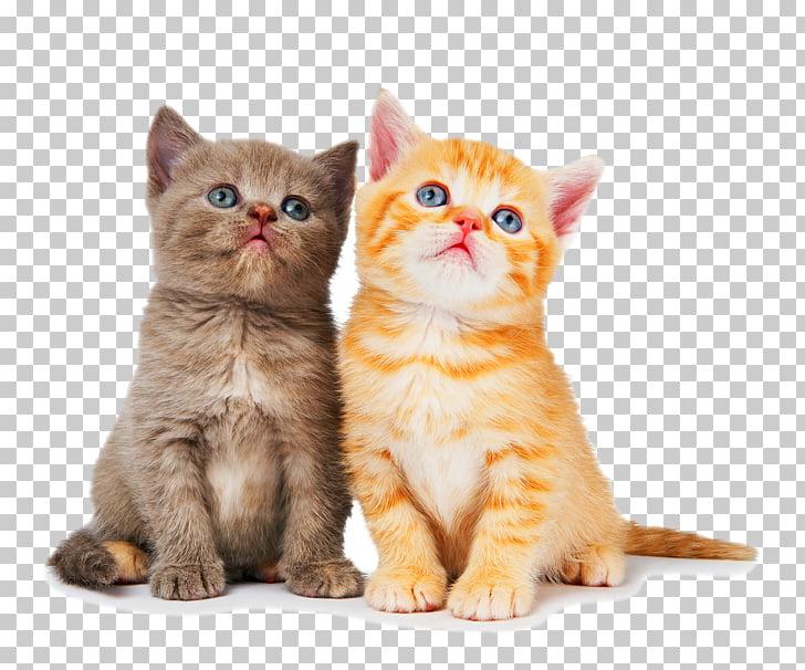 Ragdoll British Shorthair Kitten Dog Litter box, kitten, two.