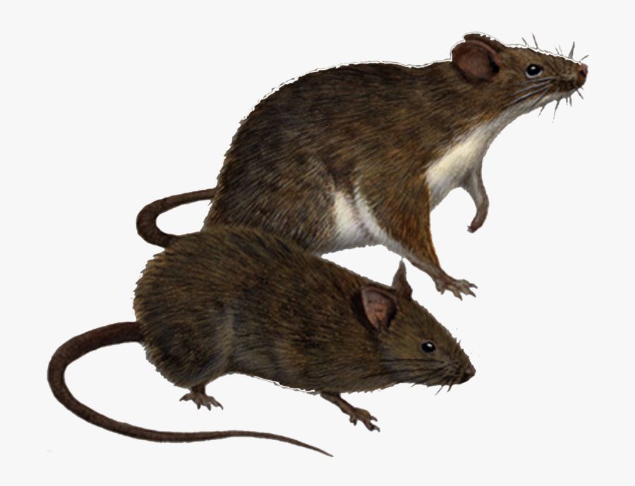 Download Rat Png Clipart.