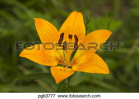Picture of Lilium Bulbiferum, var. Croceum, grows in shady.