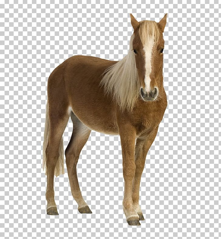 Shetland Pony Foal Mustang Stock Photography PNG, Clipart.