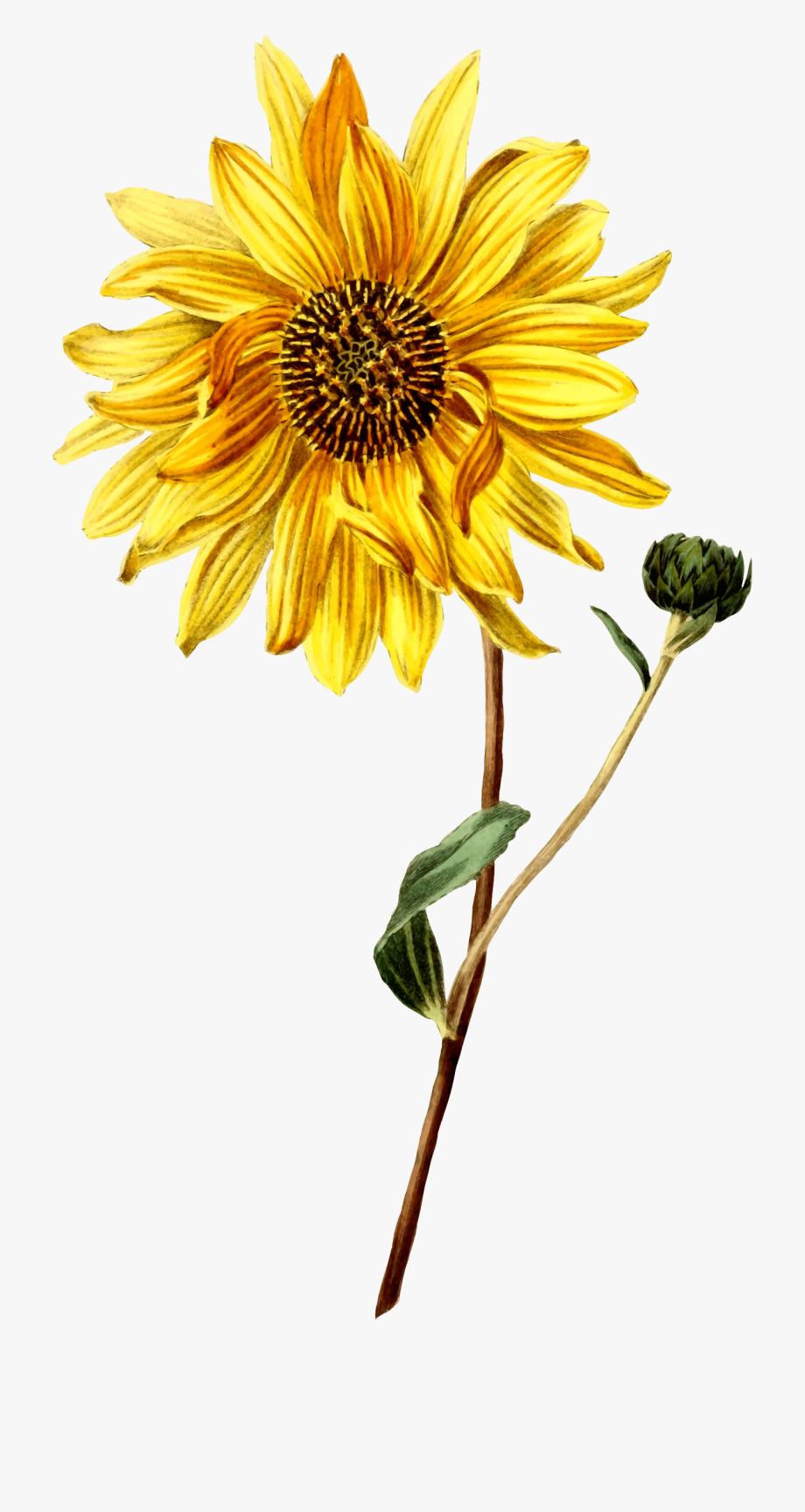 Common Illustration Botany Flower.