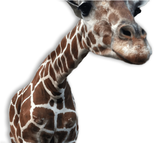 Giraffe Clipart Transparent Background.