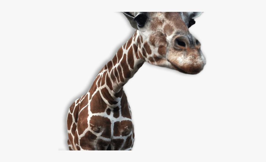 Giraffe Clipart Transparent Background.