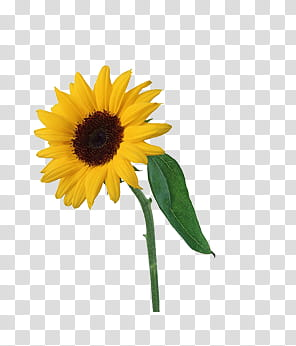 Flower age P s, yellow sunflower transparent background PNG.
