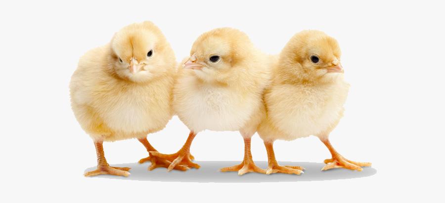 Chick Clipart 3 Chicken.