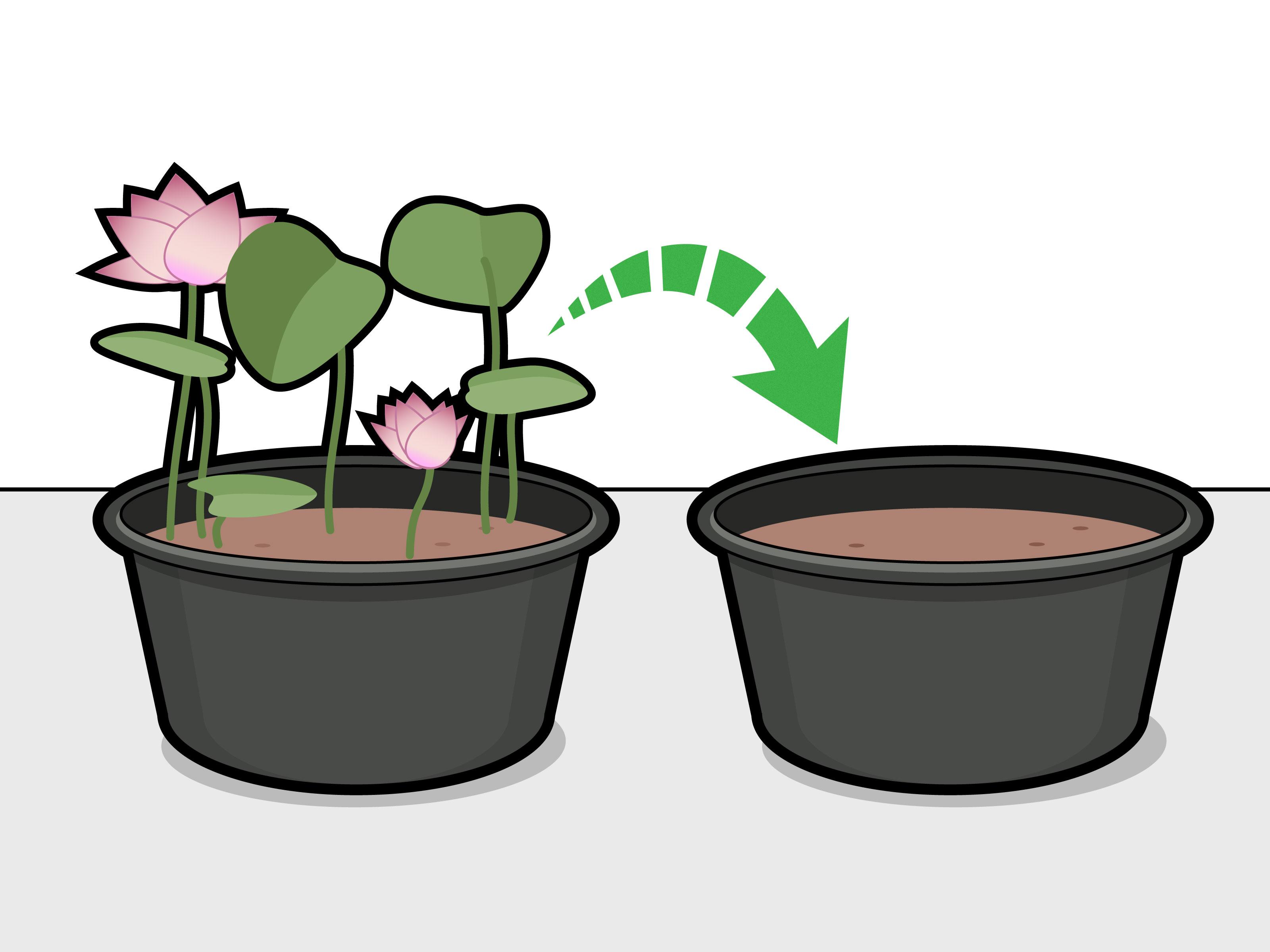 3 Ways to Grow Lotus Flower.