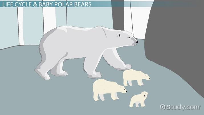 Polar Bear Life Cycle: Lesson for Kids.