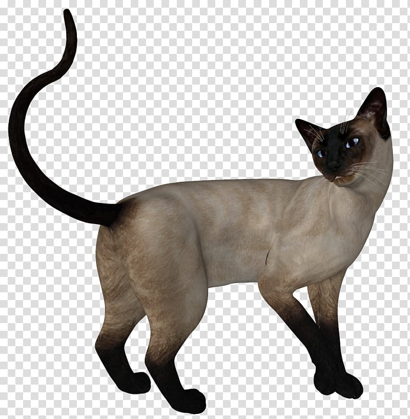 Siamese , siamese cat transparent background PNG clipart.