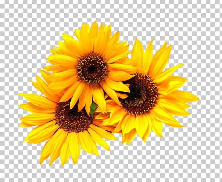 Wedding Invitation Common Sunflower Yellow PNG, Clipart.