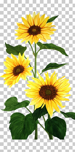 1,208 watercolor Sunflowers PNG cliparts for free download.