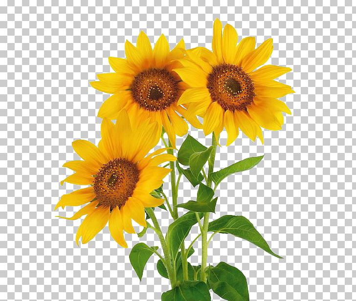 Stock Photography Common Sunflower Vase With Three.