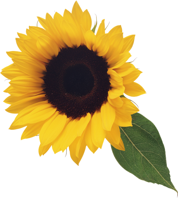 Sunflower with Leaf Clipart in 2019.