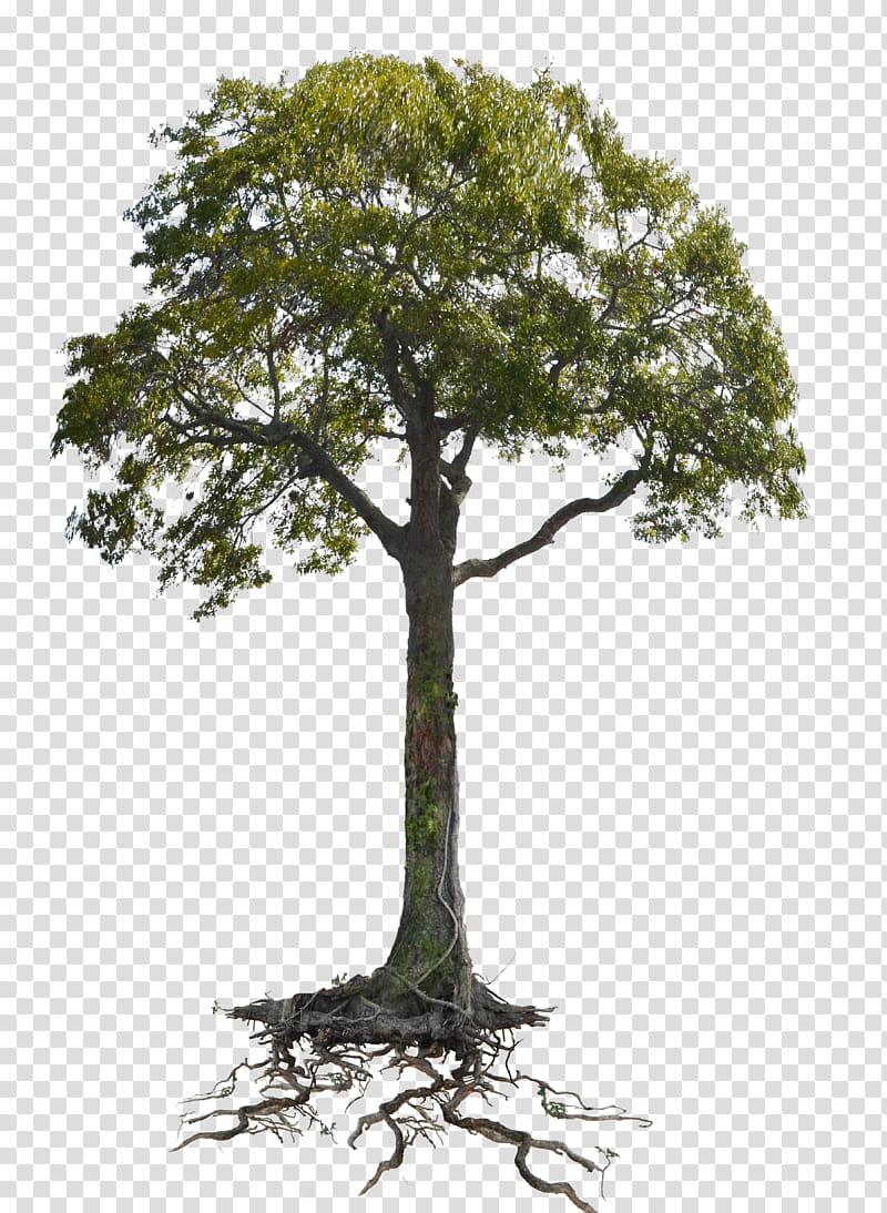 Tree n Roots Lake cc copy , green tree transparent.