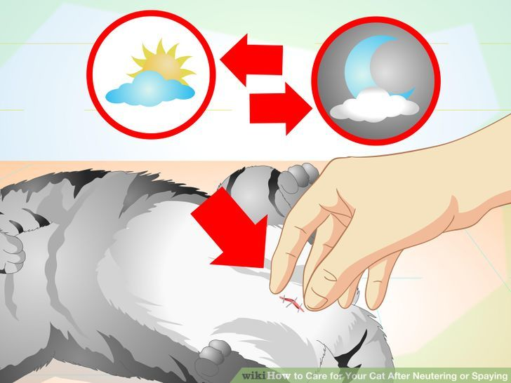 How to Care for Your Cat After Neutering or Spaying.