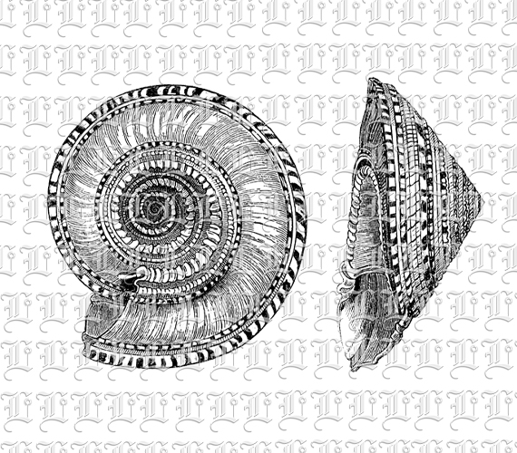 Sollarium Shell Mollusc Snail Shell Seashell Vintage.