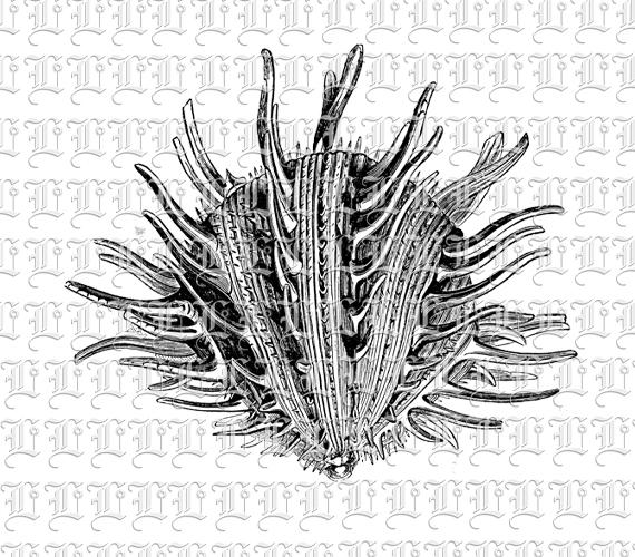 Thorny Oyster Sea Shell Seashell Vintage Illustration Clip.