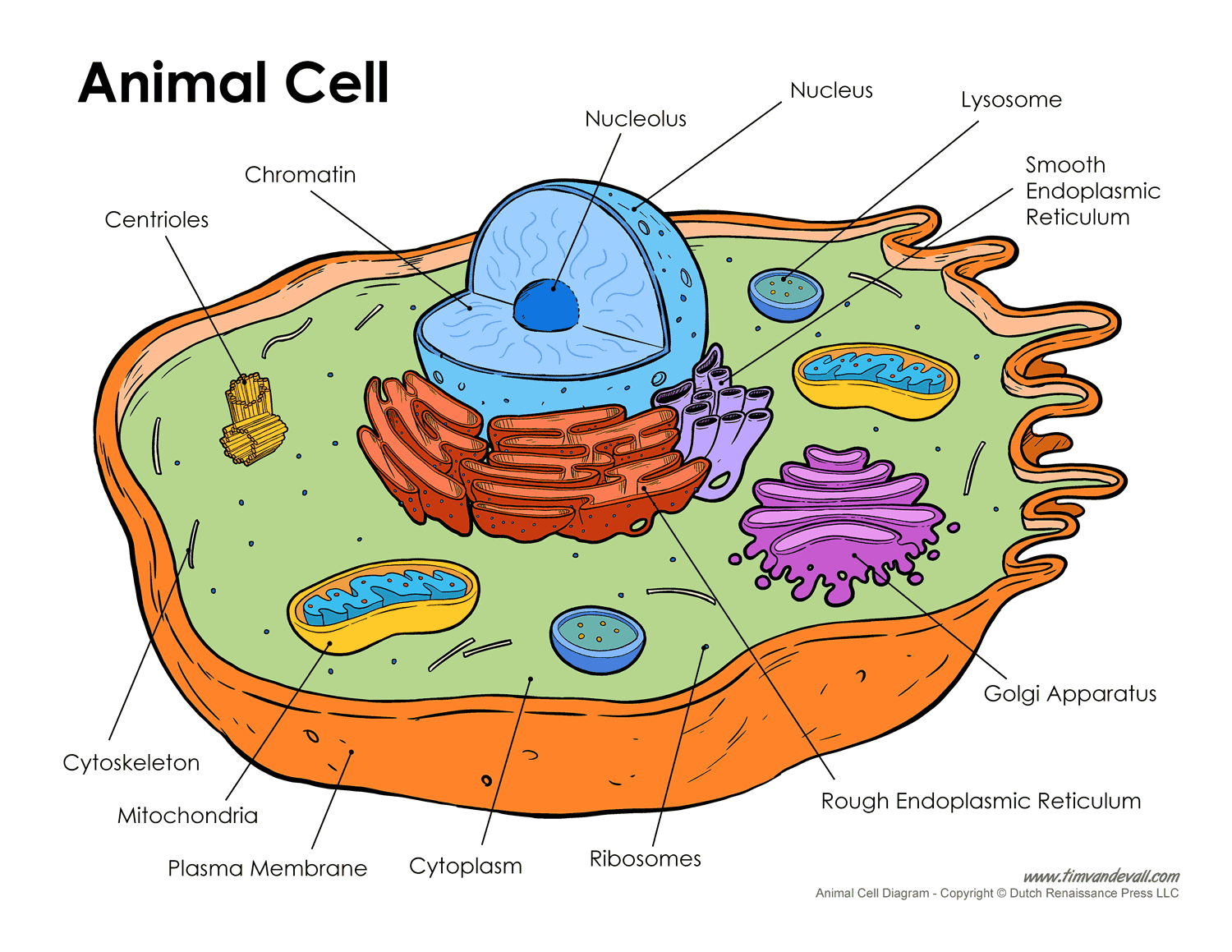 Free Animal Cell Unlabeled, Download Free Clip Art, Free.